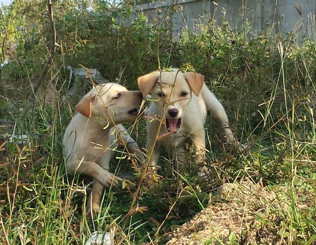 Hundehvalpe ved køer (beskåret)