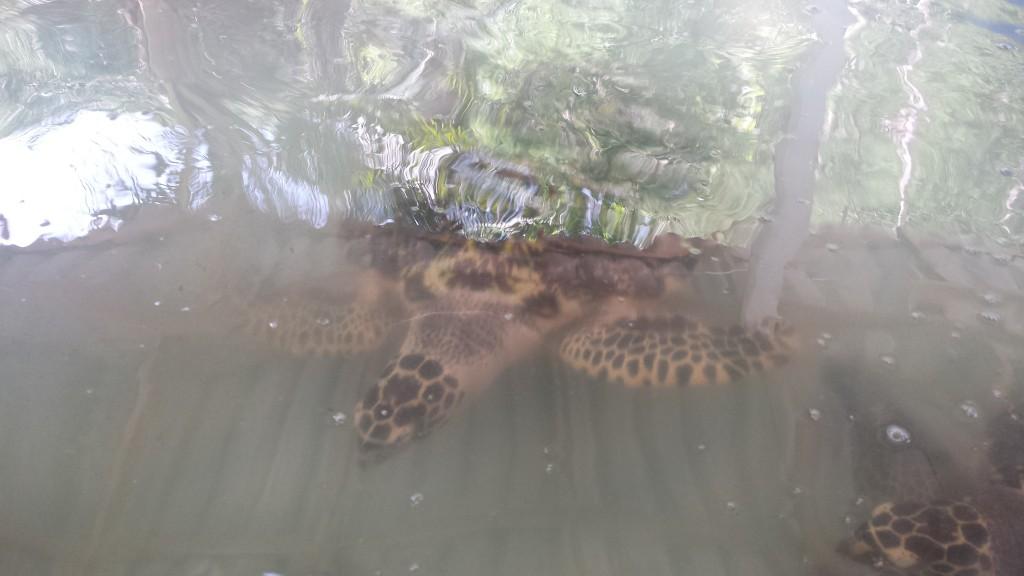 Koh Talu skildpadder2