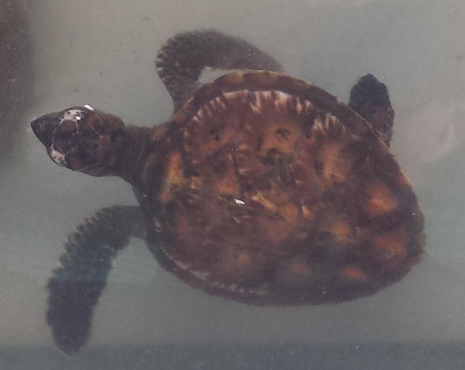 Koh Talu skildpadder5 (beskaret)