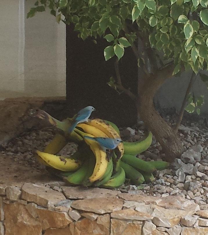 Bla fugle spiser bananer3 (beskaret)