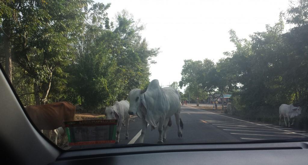 Køer på vejen (klippet)